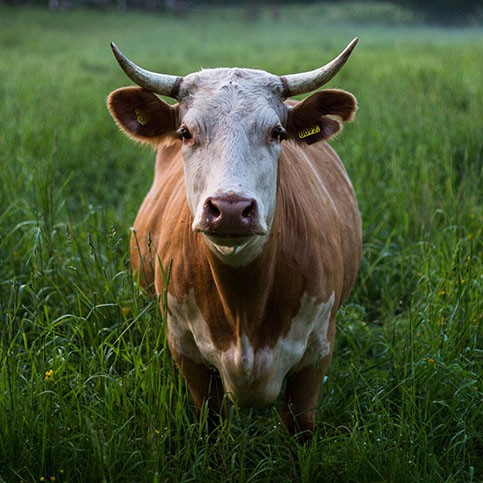 May Beef Cattle RMO