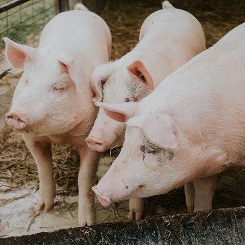 June Hogs Pork RMO