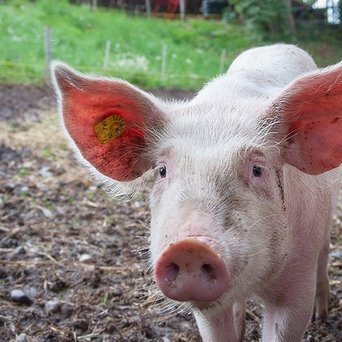 July Pork RMO