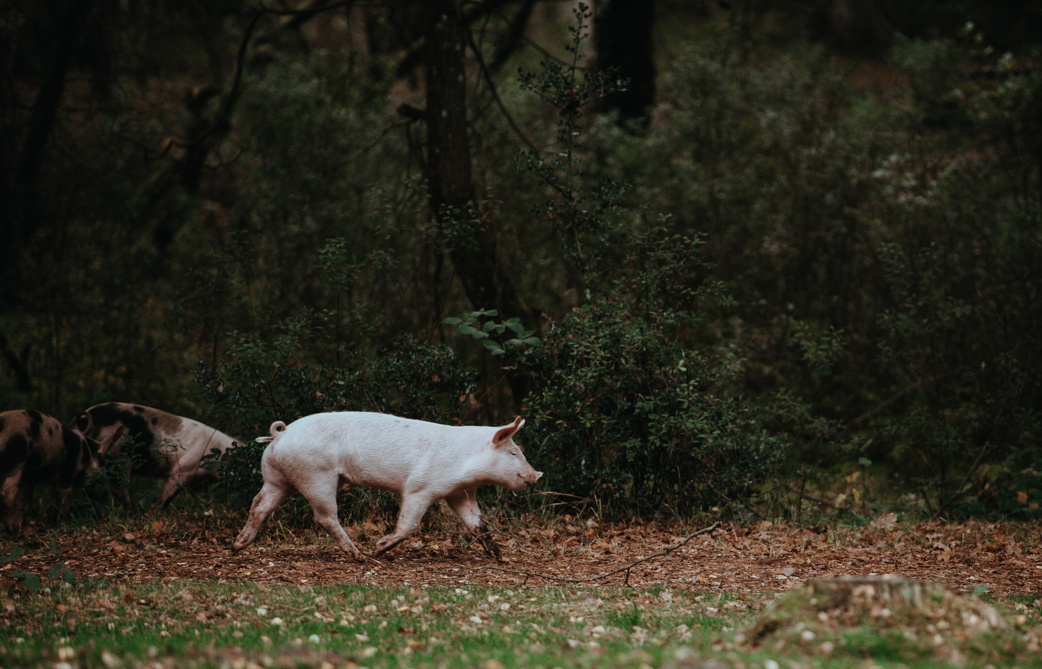 pigs wandering on grass